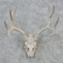 Mule Deer Taxidermy Antler Plaque Mount #12622 For Sale @ The Taxidermy Store
