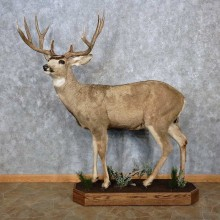 Mule Deer Taxidermy Life Size Mount For Sale