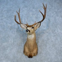 Mule Deer Shoulder Mount For Sale #15458 @ The Taxidermy Store