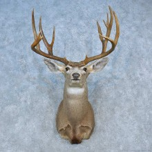 Mule Deer Shoulder Mount For Sale #15460 @ The Taxidermy Store