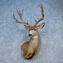 Mule Deer Shoulder Mount For Sale #15464 @ The Taxidermy Store