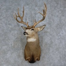 Mule Deer Taxidermy Shoulder Mount For Sale