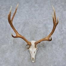 Mule Deer Skull Antler European Taxidermy Mount For Sale