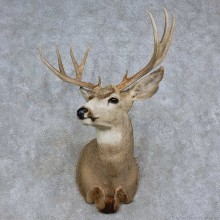 Mule Deer Shoulder Mount For Sale #15714 @ The Taxidermy Store