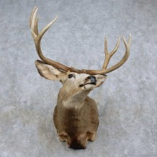 Mule Deer Shoulder Mount For Sale #15718 @ The Taxidermy Store