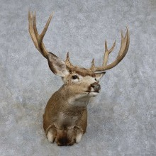 Mule Deer Shoulder Mount For Sale #15723 @ The Taxidermy Store