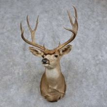 Mule Deer Shoulder Mount For Sale #15733 @ The Taxidermy Store