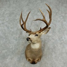 Mule Deer Shoulder Mount For Sale #16980 @ The Taxidermy Store
