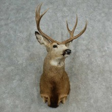 Mule Deer Shoulder Mount For Sale #17003 @ The Taxidermy Store