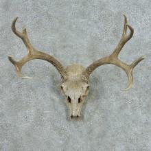 Mule Deer Skull Antlers European Mount #13654 For Sale @ The Taxidermy Store