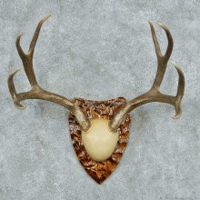 Mule Deer Antler Plaque Mount #13775 For Sale @ The Taxidermy Store