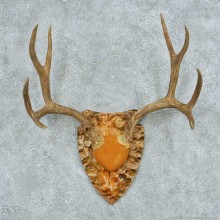 Mule Deer Antler Plaque Mount #13781 For Sale @ The Taxidermy Store