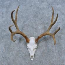 Mule Deer Skull Antler European Mount For Sale #15270 @ The Taxidermy Store