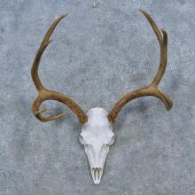 Mule Deer Skull Antler European Mount For Sale #15271 @ The Taxidermy Store