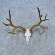 Mule Deer Skull Antler European Taxidermy Mount For Sale