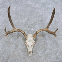 Mule Deer Skull Antler European Mount For Sale #14279 @ The Taxidermy Store