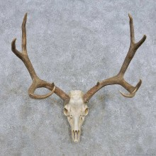 Mule Deer Skull Antler European Mount For Sale #14281 @ The Taxidermy Store