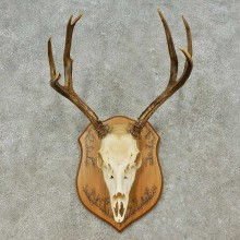 Mule Deer Skull European Mount For Sale #16197 @ The Taxidermy Store