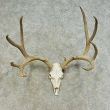 Mule Deer Skull European Mount For Sale #16283 @ The Taxidermy Store