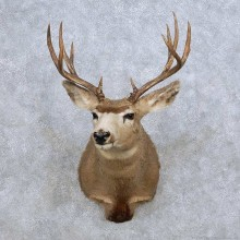 Mule Deer Shoulder Mount For Sale #14070 @ The Taxidermy Store