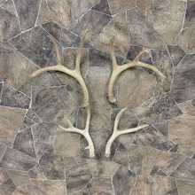 Mule Deer Antler Craft Pack For Sale #21826 @ The Taxidermy Store