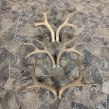 Mule Deer Antler Craft Pack For Sale #21829 @ The Taxidermy Store