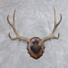 Mule Deer Taxidermy European Antler Plaque #18706 For Sale @ The Taxidermy Store