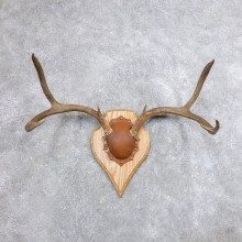 Mule Deer Taxidermy European Antler Plaque #18707 For Sale @ The Taxidermy Store