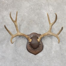 Mule Deer Antler Plaque Mount For Sale #18996 @ The Taxidermy Store