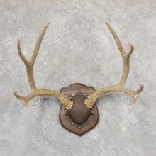 Mule Deer Antler Plaque Mount For Sale #19002 @ The Taxidermy Store