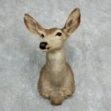 Mule Deer Doe Shoulder Mount For Sale #18061 @ The Taxidermy Store