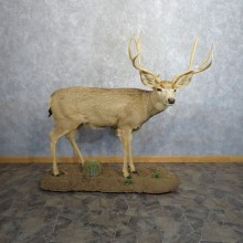 Desert Mule Deer Taxidermy Life Size Mount For Sale