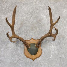 Mule Deer Plaque Mount For Sale #19008 @ The Taxidermy Store