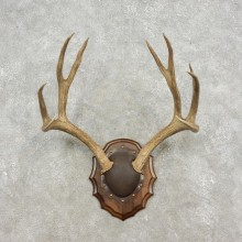 Mule Deer Antler Plaque Taxidermy Mount For Sale