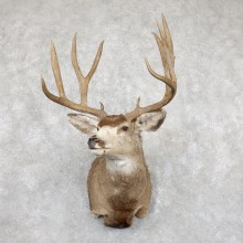 Mule Deer Shoulder Mount For Sale #19455 @ The Taxidermy Store