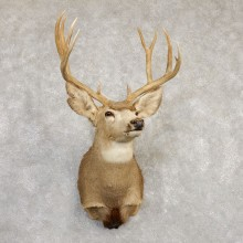 Mule Deer Shoulder Mount For Sale #20261 @ The Taxidermy Store