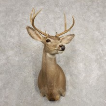 Mule Deer Shoulder Mount For Sale #20482 @ The Taxidermy Store