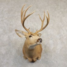 Mule Deer Shoulder Mount For Sale #20833 @ The Taxidermy Store