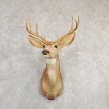 Mule Deer Shoulder Mount For Sale #20834 @ The Taxidermy Store