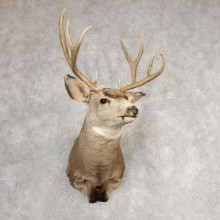 Mule Deer Shoulder Mount For Sale #21070 @ The Taxidermy Store