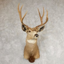Mule Deer Shoulder Mount For Sale #21072 @ The Taxidermy Store