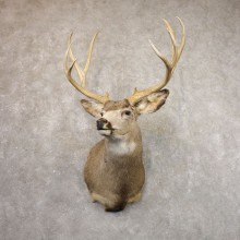 Mule Deer Shoulder Mount For Sale #22155 @ The Taxidermy Store
