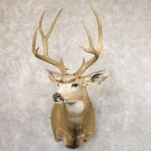 Mule Deer Shoulder Mount For Sale #22177 @ The Taxidermy Store