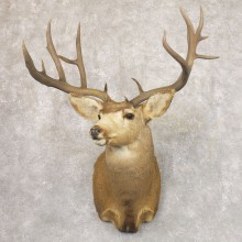 Mule Deer Shoulder Mount For Sale #22182 @ The Taxidermy Store