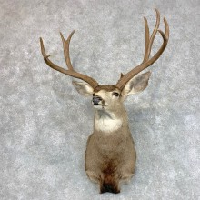 Mule Deer Shoulder Mount For Sale #22793 @ The Taxidermy Store