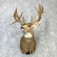 Mule Deer Shoulder Mount For Sale #23085 @ The Taxidermy Store