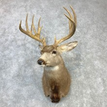 Mule Deer Shoulder Mount For Sale #23087 @ The Taxidermy Store