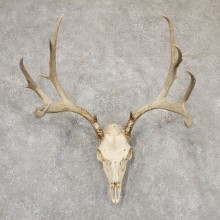 Mule Deer Skull Antler European Mount For Sale #18947 @ The Taxidermy Store