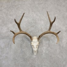 Mule Deer Skull Antler European Mount For Sale #20027 @ The Taxidermy Store