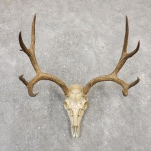 Mule Deer Skull Antler European Mount For Sale #20028 @ The Taxidermy Store